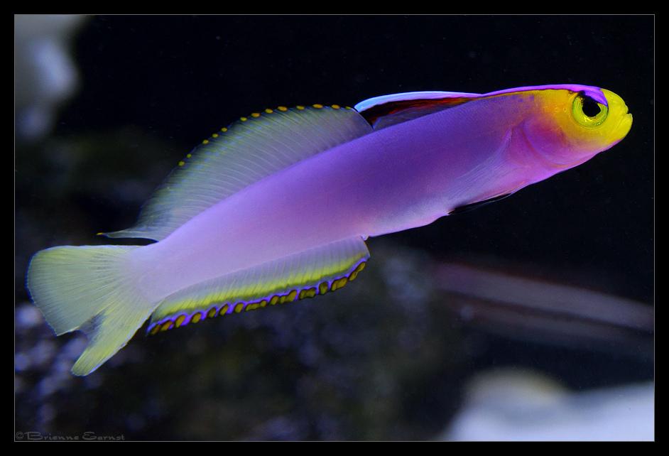 Helfrichi Firefish Nemateleotris Helfrichi Akvaryum